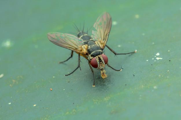 Stubenfliege (musca domestica) auf grünem blattnaturmakro