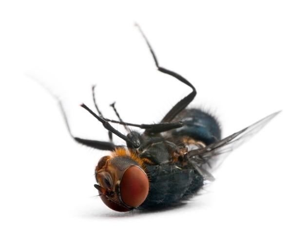 Stubenfliege - musca domestica