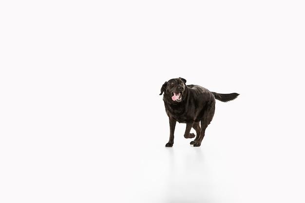 Studioaufnahme des schwarzen labrador-retrievers lokalisiert auf weißer studiowand
