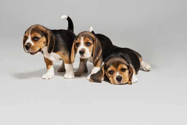 Studioaufnahme von beagle-welpen auf weißem studiohintergrund