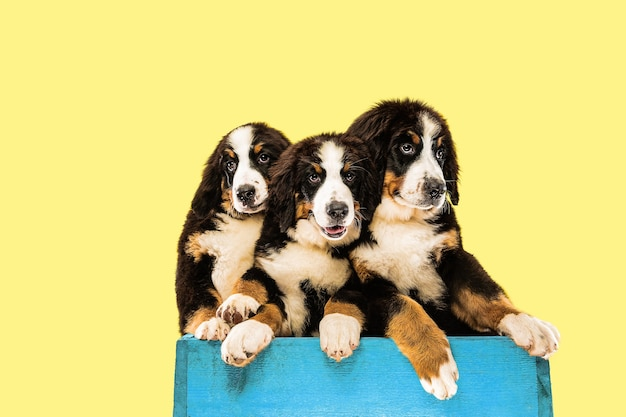Studioaufnahme von berner sennenhund-welpen auf gelbem studiohintergrund