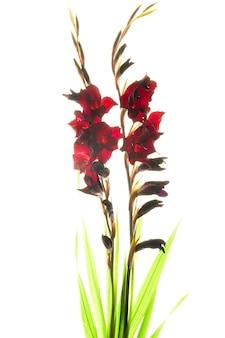 Studioaufnahme von rot gefärbten gladiolen isoliert auf weißem hintergrund. makro.