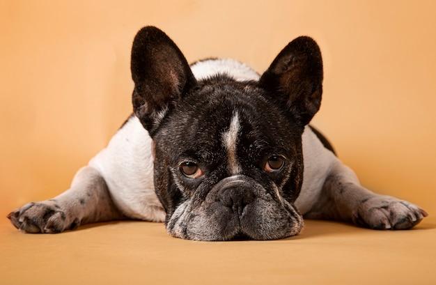 Studiobild einer entzückenden französischen bulldogge, die auf gelbem hintergrund legt