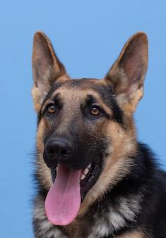 Studioporträt des deutschen schäferhundes lokalisiert auf hellblauem hintergrund