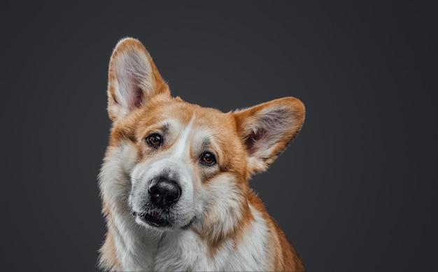 Studioporträt des traurigen hundes des netten walisischen corgis lokalisiert auf einem schwarzen hintergrund im studio.