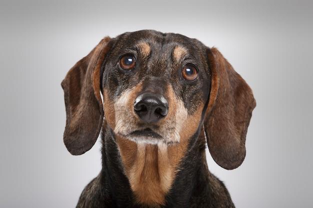Studioportrait eines ausdrucksstarken teckel-hundes vor neutralem hintergrund