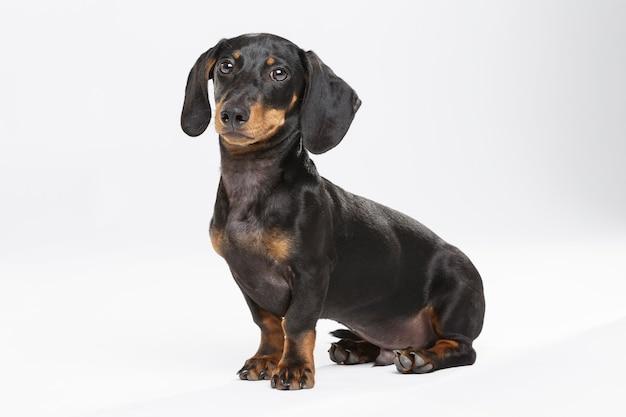 Studioportrait eines ausdrucksstarken teckel-hundes vor weißem hintergrund Premium Fotos