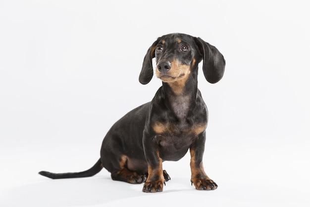 Studioportrait eines ausdrucksstarken teckel-hundes vor weißem hintergrund