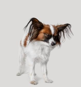 Studioportrait eines kleinen hundes auf grauem hintergrund