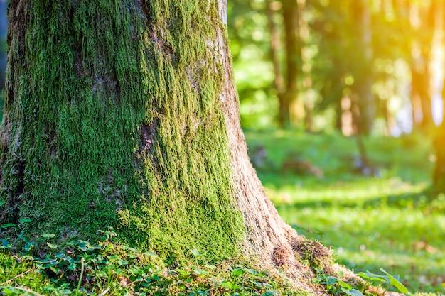 Stumpf mit moos im herbstwald. alter baumstumpf bedeckt mit moos im nadelwald, schöne landschaft. weicher lichteffekt. grünes naturkonzept