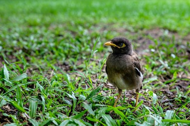 Sturnidae oder gracula religiosa vögel, die in süd- und südostasien gemein sind