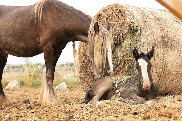 Stute mit ihrem fohlen neben einem strohballen