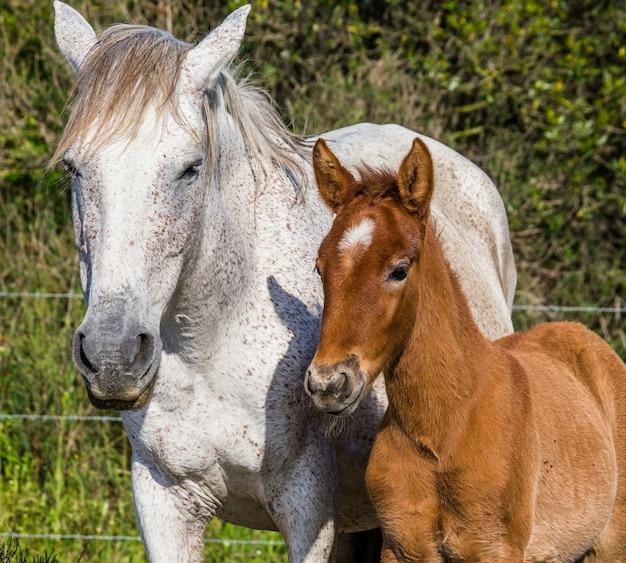 Stute mit ihrem fohlen. weißes camargue-pferd