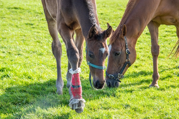 Stute und ihr fohlen auf der weide. yuong pferd mit verband auf einem bein. pferde im fahrerlager.