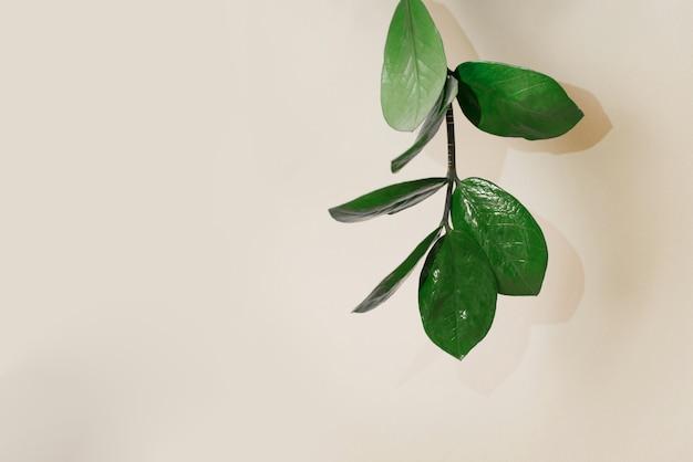 Südafrikanische pflanze zamokulkas, ein zweig mit blättern einer zimmerpflanze auf beige