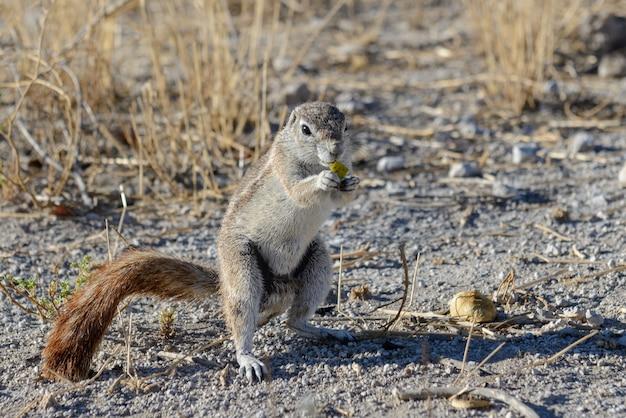 Südafrikanisches grundeichhörnchen xerus inauris sitzt