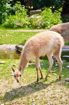 Südamerikanische kameliden in einem natürlichen zoo