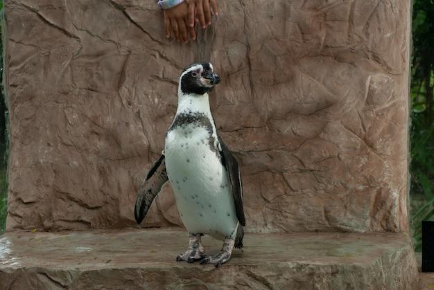 Südamerikanischer humboldt-pinguin