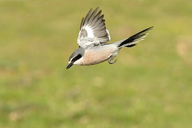 Südlicher grauer würger fliegt und im brütenden gefieder mit dem ersten licht der morgendämmerung