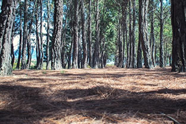 Suelo de ramas secas de pino