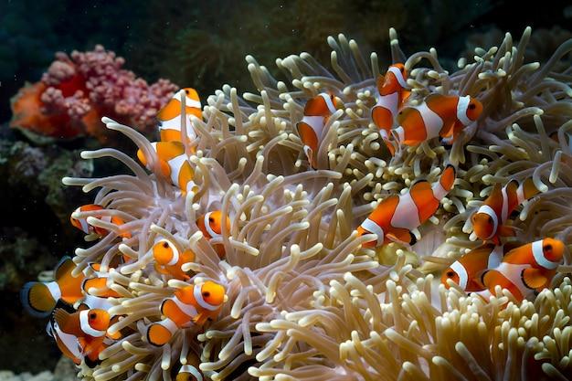 Süße anemonenfische, die auf dem korallenriff spielen