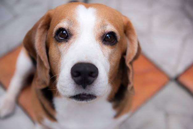 Süße beagle-hunde schauen mit freundlichen augen zu