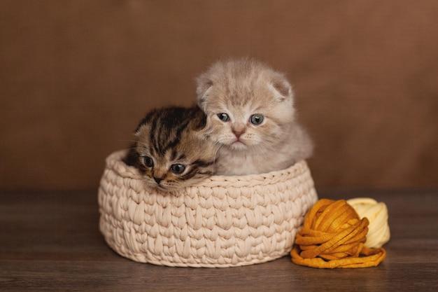 Süße britische kätzchen sitzen in einem beigen korb
