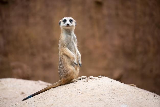 Süße erdmännchen (suricata suricatta)