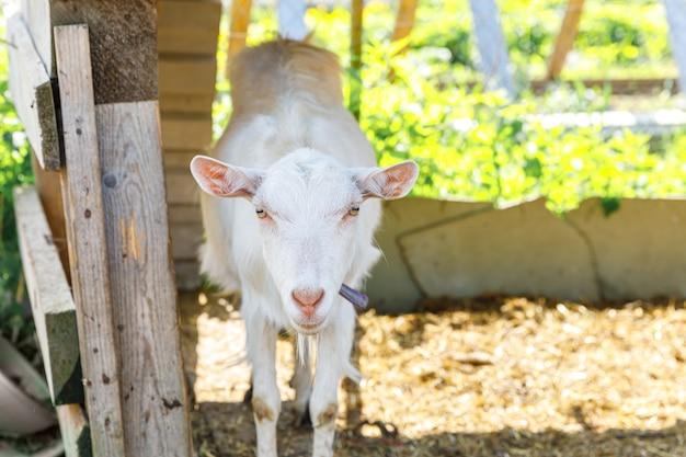 Süße freiland-ziegen auf biologischer, natürlicher öko-tierfarm, die im hof auf ranch-hintergrund frei weiden ...