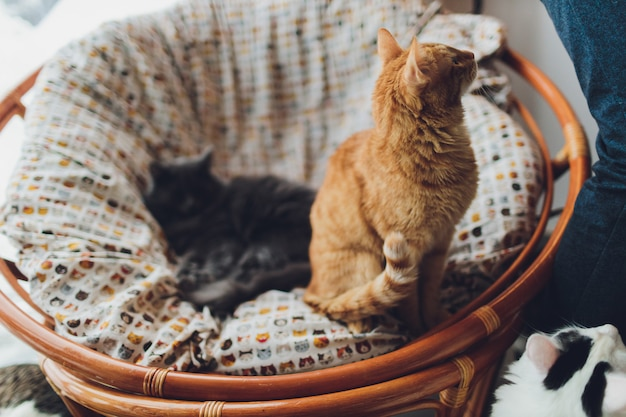 Süße goldene katze, die auf der couch liegt und wegschaut.