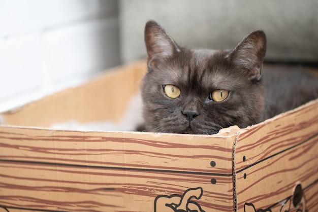 Süße grau getigerte katze versteckt sich in karton