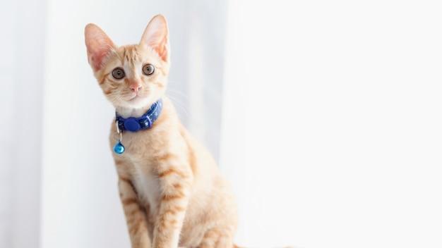 Süße kätzchenkatze, die zu hause bleibt. konzept der aufzucht von haustieren und tieren im haus, um gesund und glücklich zu sein.