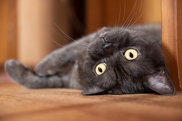 Süße katze mit gelben augen liegt auf dem boden gesicht nahaufnahme