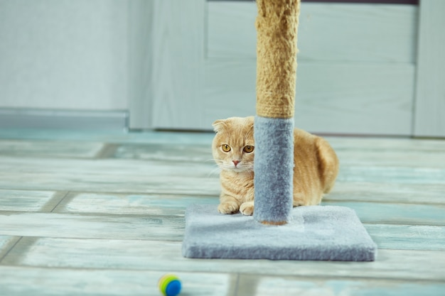 Süße kleine britische katze, die mit einem katzenkratzer spielt
