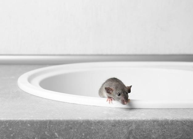 Süße kleine ratte, die aus dem waschbecken kommt
