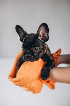 Süße kleine schwarze französische bulldogge im studio