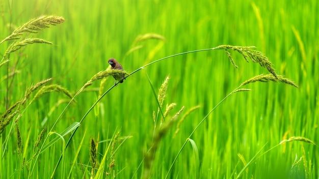 Süße kleine vögel in grünen reisfeldern