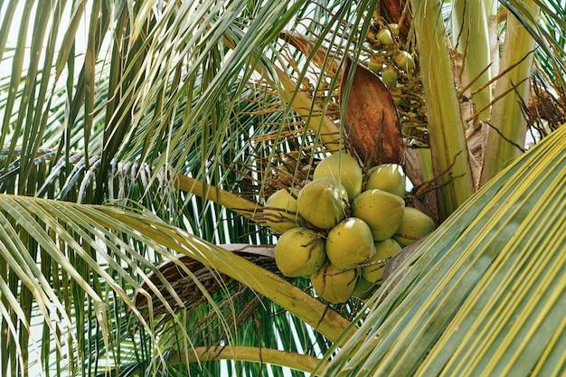 Süße kokosnussfrucht auf retro- filter des kokosnussbaums