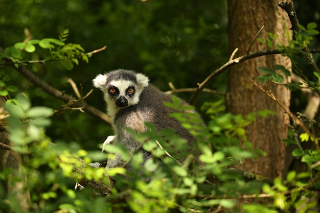 Süße lemur-kata auf einem grünen baum