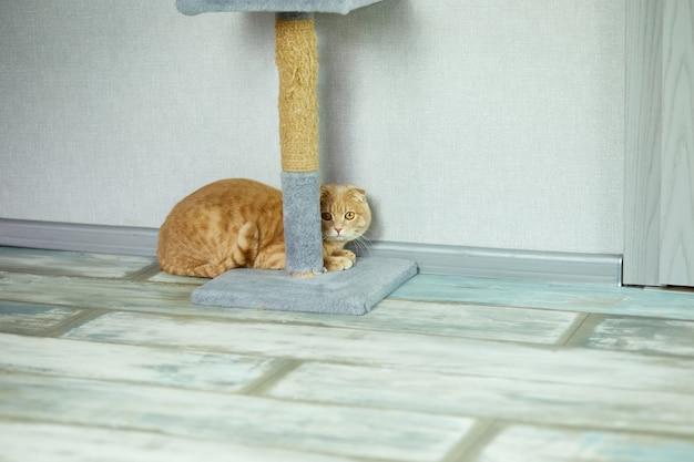 Süße lustige britische katze, die tagsüber in der nähe des katzenkratzers im wohnzimmer auf dem boden liegt