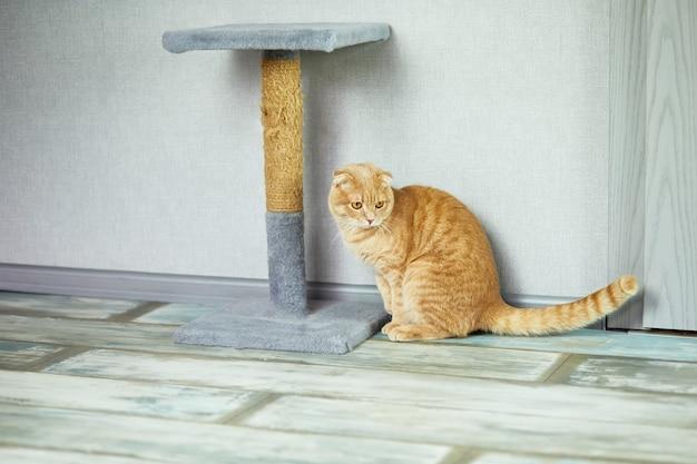 Süße lustige britische katze spielt tagsüber in der nähe des katzenkratzers im wohnzimmer