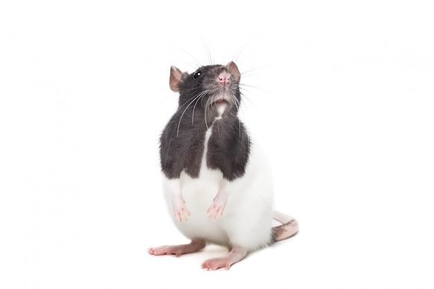 Süße maus oder ratte isoliert