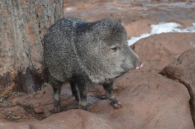 Süße razorback-schweine in freier wildbahn stehend