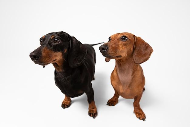 Süße reinrassige hunde in einem studio
