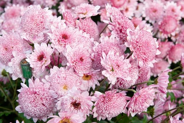 Süße rosa chrysanthemen