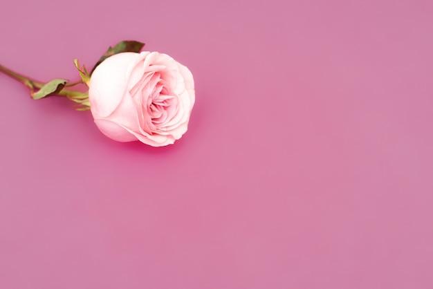 Süße rosa rosenblume für liebesromantikhintergrund. weicher selektiver fokus. speicherplatz kopieren.