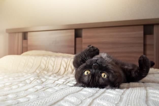Süße schwarz getigerte katze entspannt sich auf dem bett auf dem rücken liegend