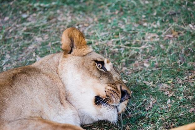 Süße wilde löwin, die auf gras liegt