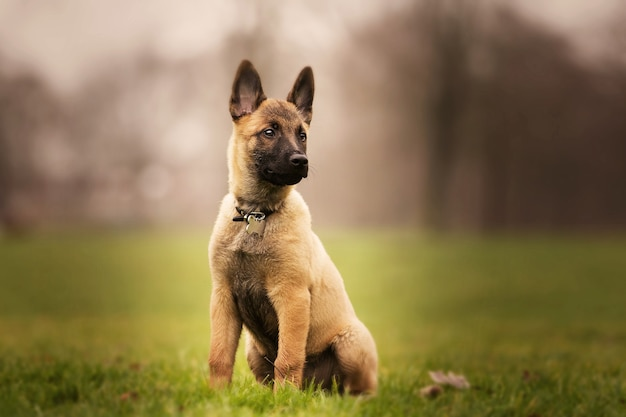 Süßer belgischer schäferhund, der auf dem gras sitzt