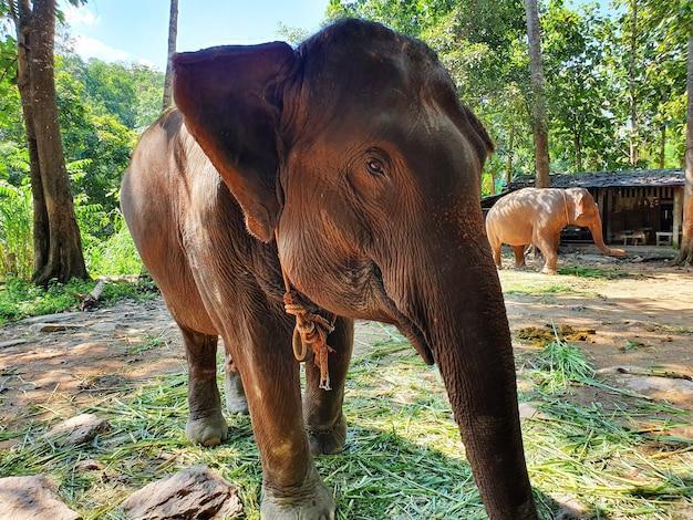 Süßer brauner elefant, der im reservat spazieren geht